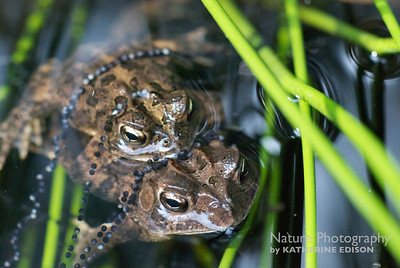 Southern Toads Mating