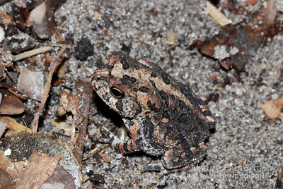 Southern Toadling