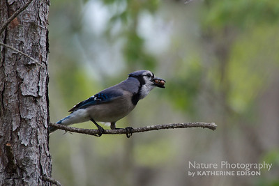 Bluejay Breakfast