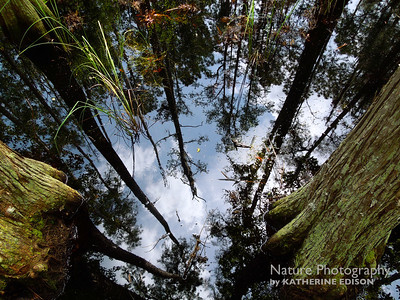 Cypress Swamp Skies