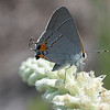 Southern Hairstreak Butterfly
