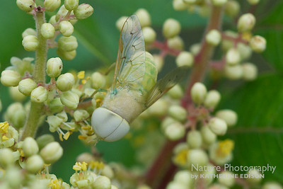 Green Horse Fly