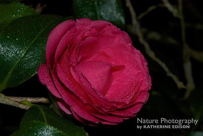 Misty Camellia