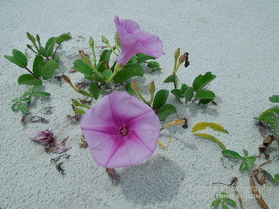 Railroad Vine