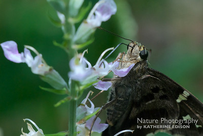 Lont-Tailed Skipper