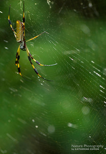 Golden Orbweaver Spider