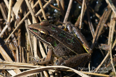 Leopard Frog in the Reeds