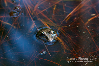 Leopard Frog on the Trail