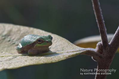 Tiny Pine Barrens Treefrog
