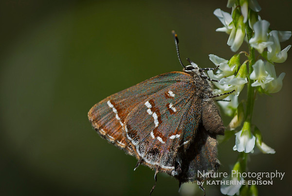 """J is for Juniper Hairstreak"""