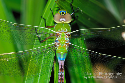 Common Green Darner Dragonfly