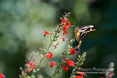 Giant Swallowtail on Tropical Sage (Salvia coccinea). Kanapaha Botanical Gardens, Gainesville, Florida. 2015.